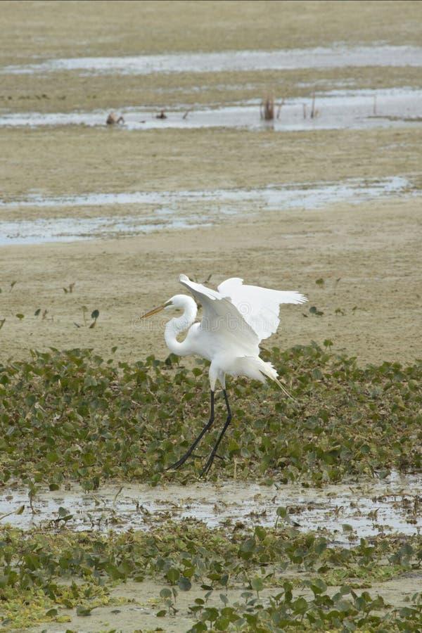 Egretta bianca che sorvola una palude ad Orlando Wetlands Park immagini stock