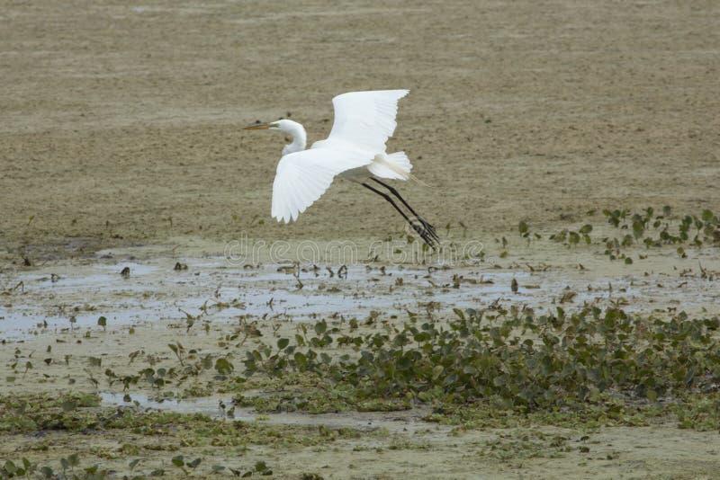 Egretta bianca che sorvola una palude ad Orlando Wetlands Park immagine stock libera da diritti