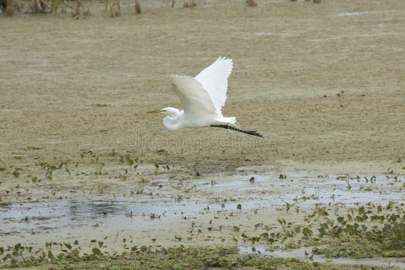 Egretta bianca che sorvola una palude ad Orlando Wetlands Park fotografia stock libera da diritti