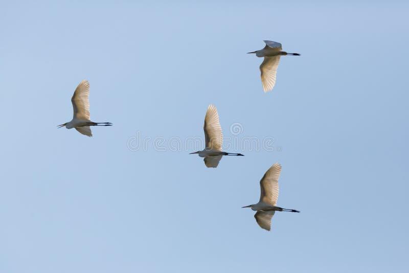 Egretta blanc de quatre migr alba d'oiseau de ciel bleu de vol de grand hérons photo stock