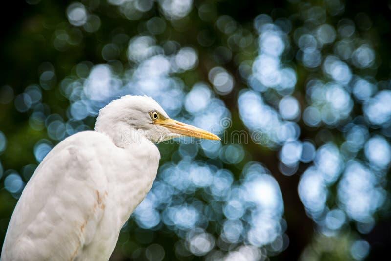 Egretta blanco Garzetta del pájaro adulto en el árbol Poco garceta en la ciudad de Taipei del parque fotografía de archivo