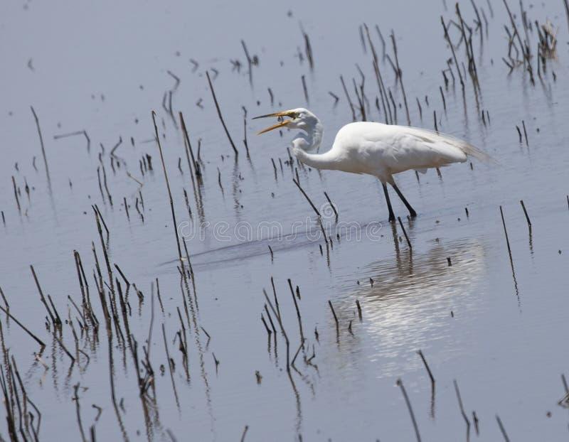 Egretta che gode del pranzo sulla riva orientale di Maryland immagini stock