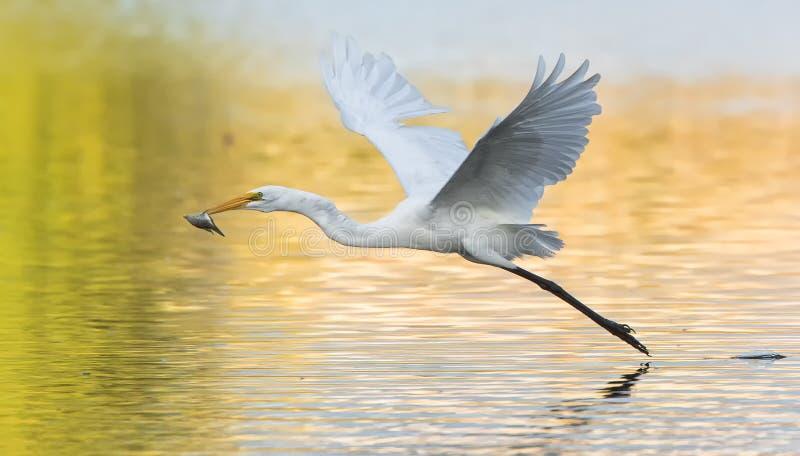 Egretta comune fotografie stock