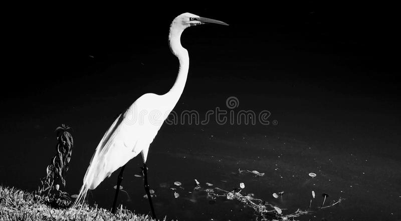 Egretta dal lago immagine stock