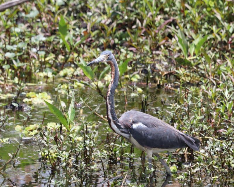 Egretta dell'airone di Florida Tricolored tricolored fotografia stock libera da diritti