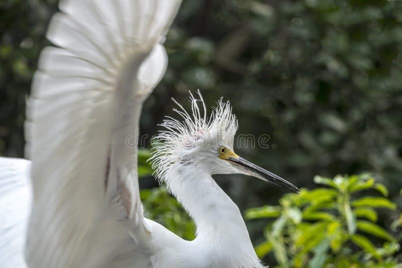 Egretta di Snowy, airone di thula dell'egretta fotografia stock