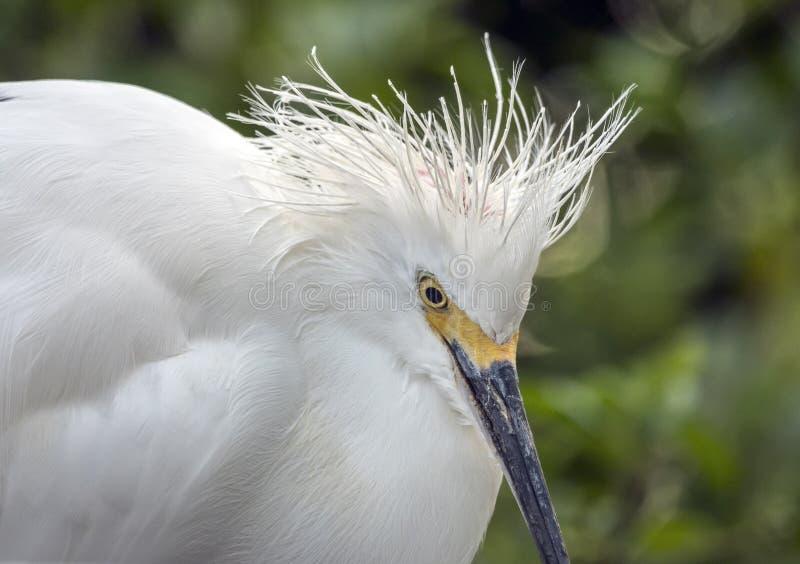 Egretta di Snowy, airone di thula dell'egretta immagini stock libere da diritti