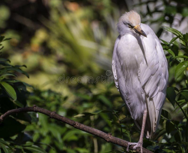 Egretta di Snowy (thula dell'egretta) immagini stock