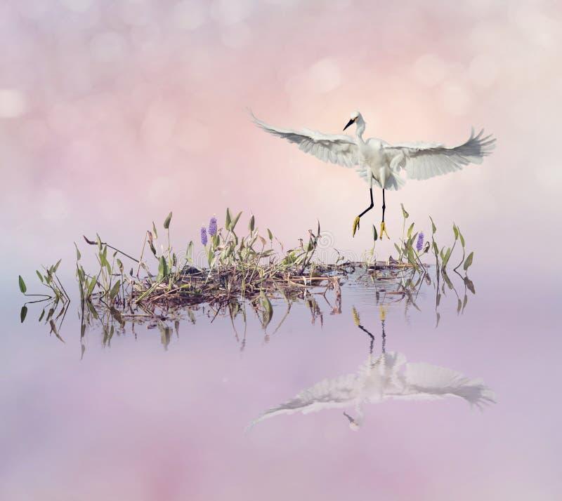 Download Egretta Di Snowy In Volo Sopra Il Lago Fotografia Stock - Immagine di piante, stagno: 100457062