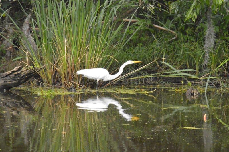 Egretta e riflessione nel ramo paludoso di fiume fotografia stock