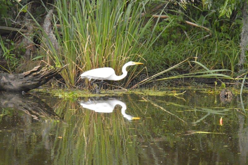 Egretta e riflessione nel ramo paludoso di fiume fotografie stock