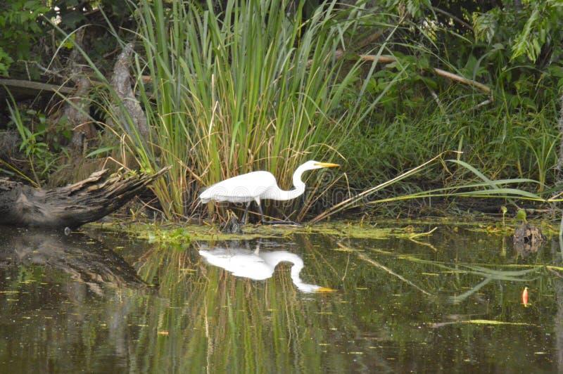 Egretta e riflessione nel ramo paludoso di fiume immagini stock