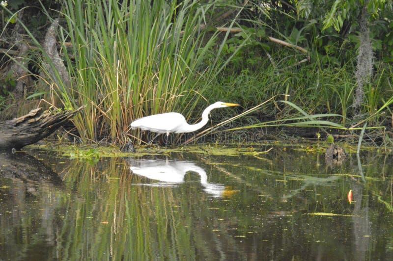 Egretta e riflessione nel ramo paludoso di fiume fotografia stock libera da diritti