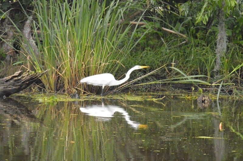 Egretta e riflessione nel ramo paludoso di fiume immagini stock libere da diritti