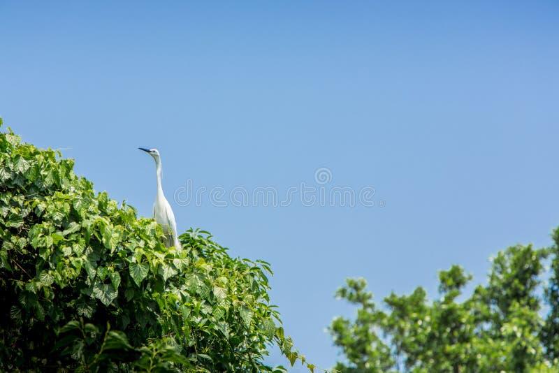 Egretta Garzetta взрослой птицы белый на дереве Немногое egret на городе Тайбэя парка стоковые фото