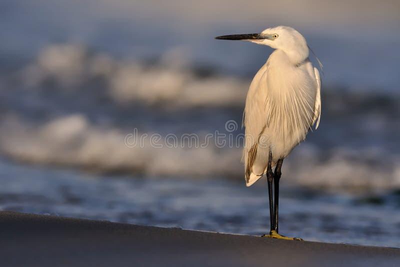 Egretta Garzetta dell'egretta che sta sulla spiaggia e che prende il sole fotografia stock