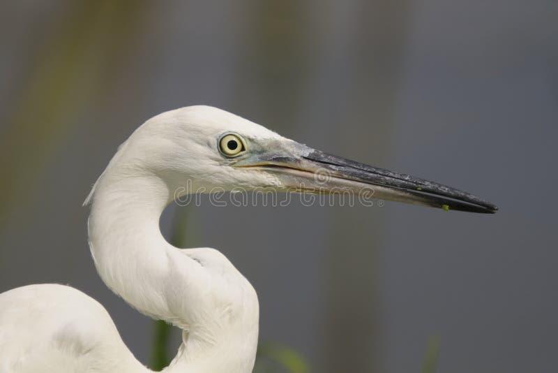 Egretta (garzetta dell'egretta) fotografie stock
