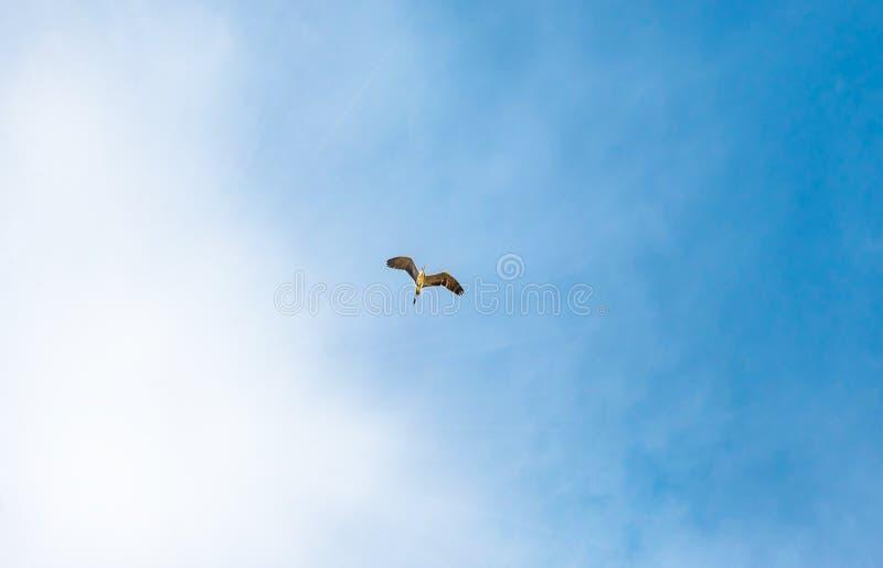 Egretta grigia, airone, volante nel bello cielo, uccello di volo nel cielo blu, concetto di libertà immagine stock