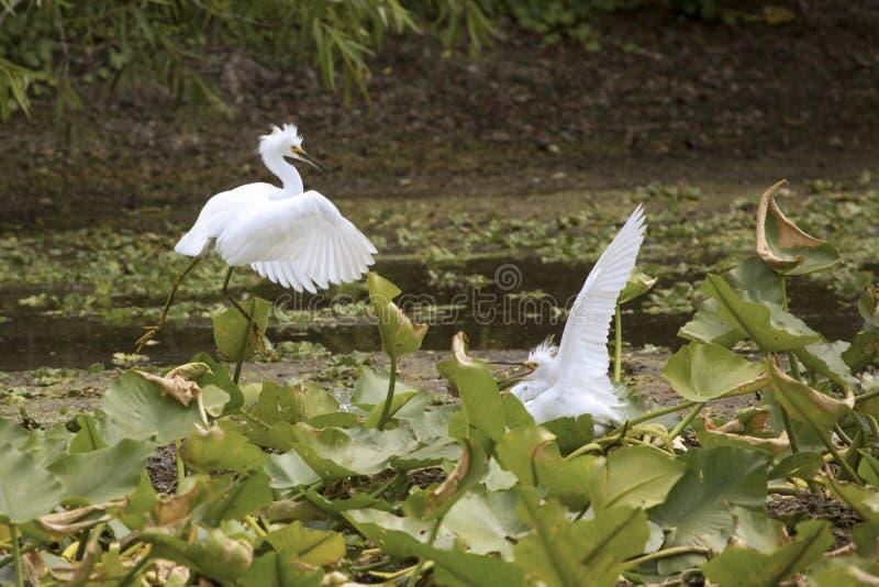 Egrette di Snowy che visualizzano ad Orlando Wetlands Park immagine stock libera da diritti