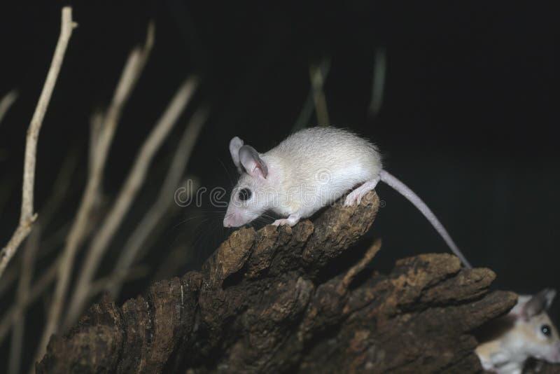Egyptain spiny mouse, Acomys demidiatus royalty free stock photography
