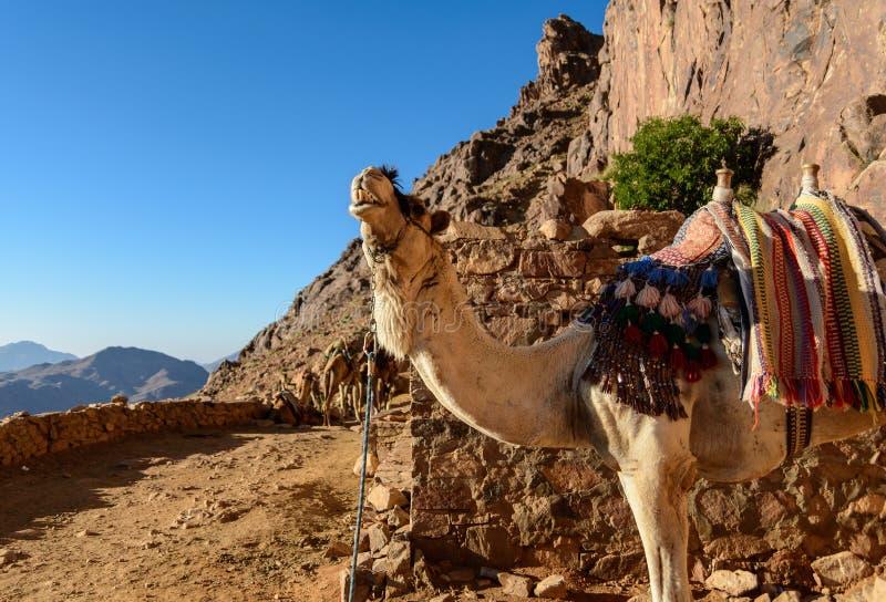 Egypte, Sinai, zet Mozes op Weg waarop de pelgrims de berg van Mozes en enige kameel op de weg beklimmen stock fotografie