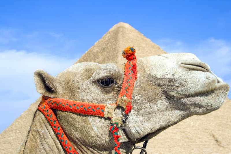 Download Egyptian Camel stock photo. Image of tourist, historic - 3783996