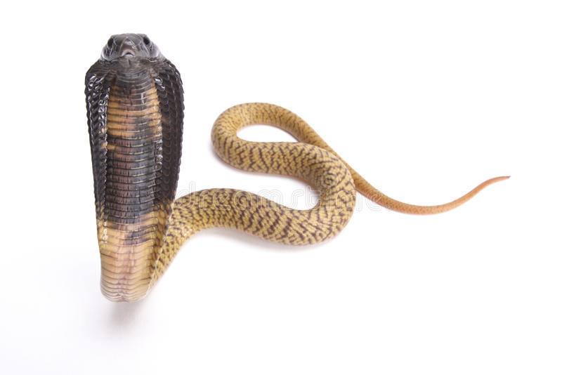 Egyptian cobra, Naja haje. The Egyptian cobra, Naja haje, is a large, highly venomous snake species found in Northern Africa stock photo