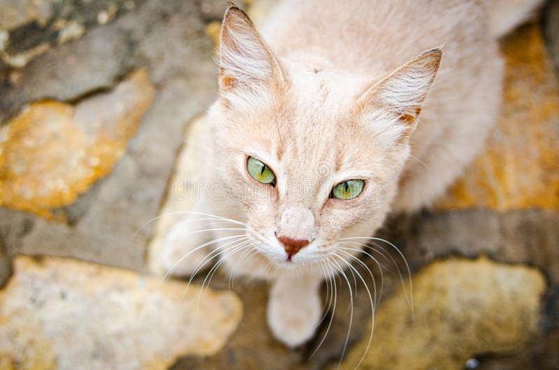 Egyptian creamy stray cat with Green eyes in Dahab, Egypt. royalty free stock photography
