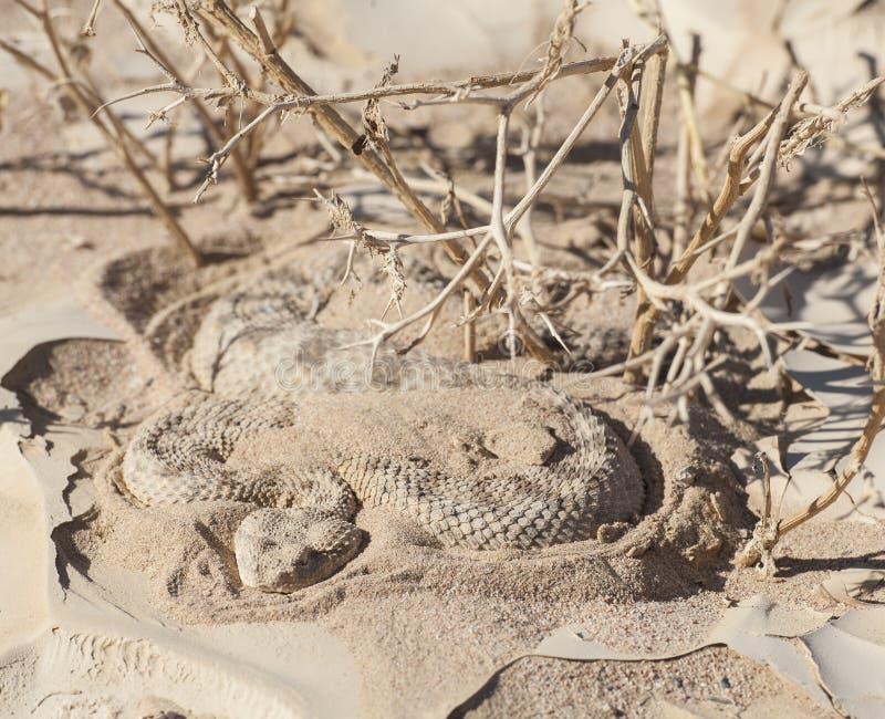 Egyptian Desert Viper Snake In The Sand Stock Photo Image 39514874