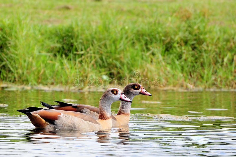 Download Egyptian Geese stock photo. Image of courses, colors - 21396082
