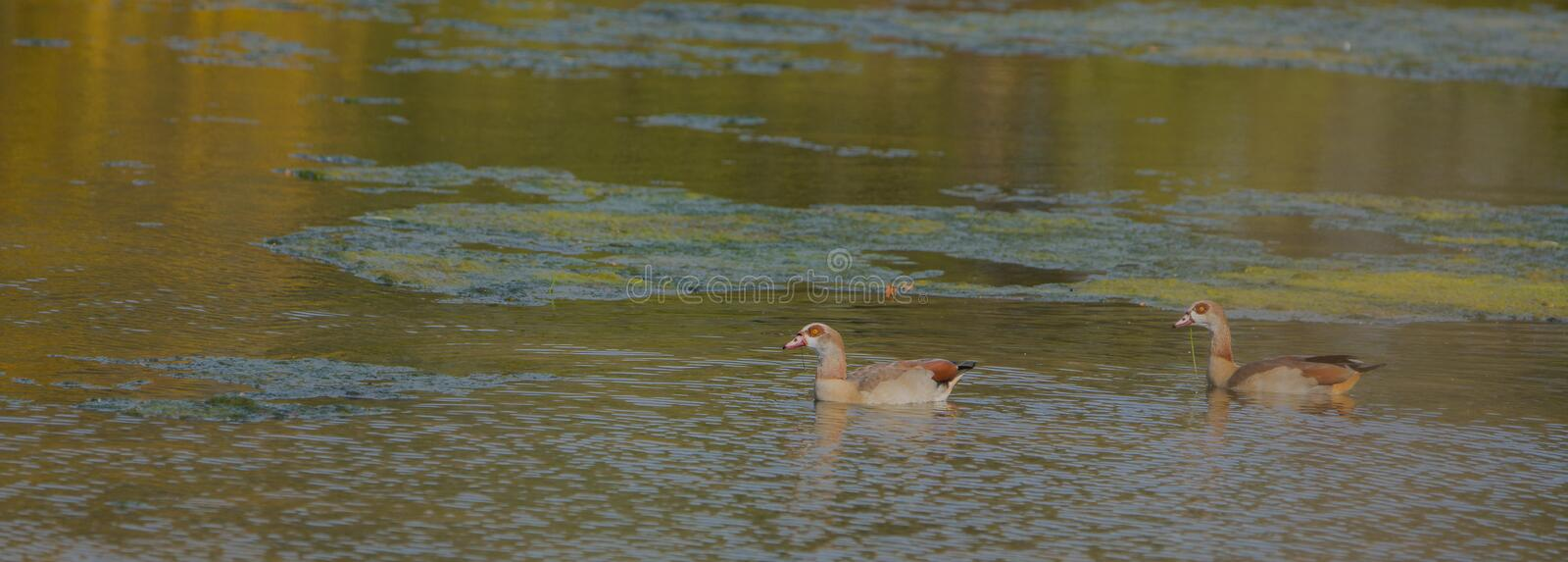 Download Egyptian Geese stock photo. Image of goose, fauna, being - 28027138