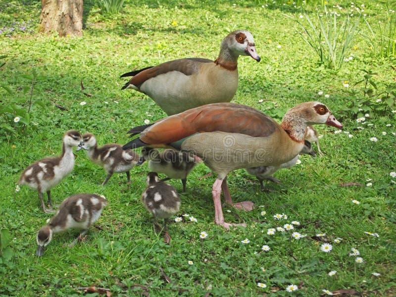 Egyptian geese family stock photo