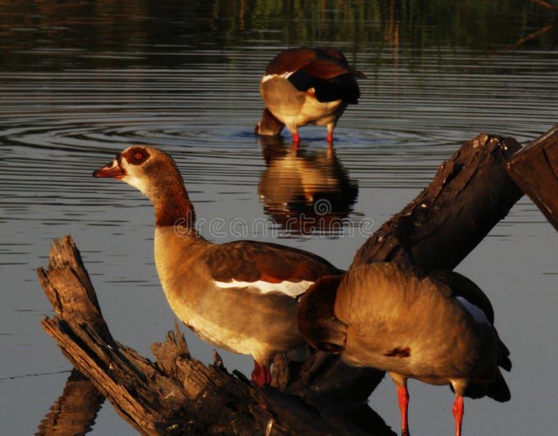 Egyptian geese Alopochen aegyptiacus stock photos