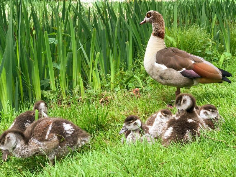 Egyptian geese family stock photos