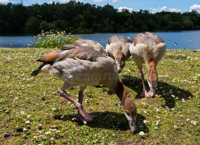 Egyptian Geese grazing stock images