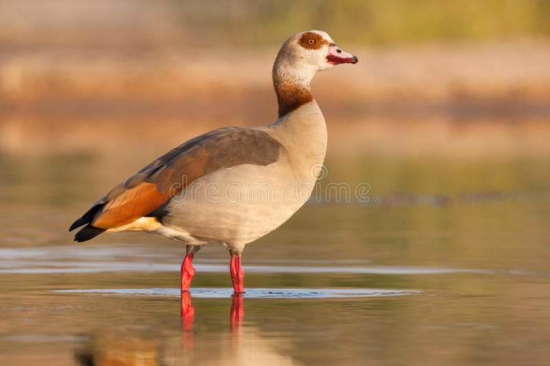Download Egyptian goose stock image. Image of game, daytime, sunny - 22417513