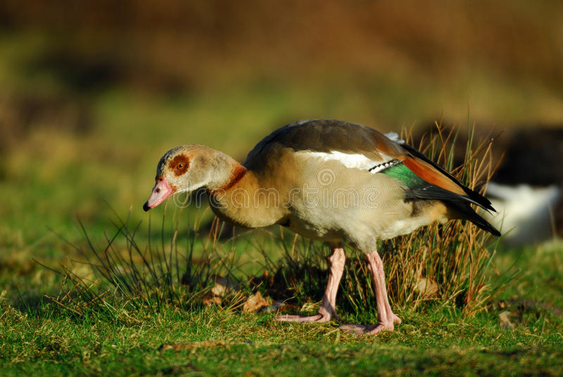 Download Egyptian Goose stock image. Image of brown, green, wilderness - 29327045
