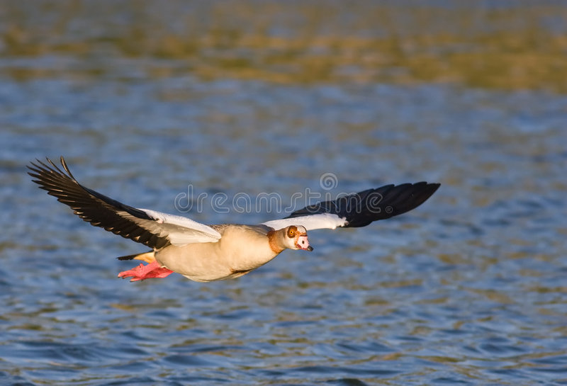 Download Egyptian goose stock photo. Image of avian, aerial, golden - 4953698