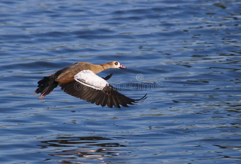 Download Egyptian goose stock image. Image of colorful, golden - 4953719