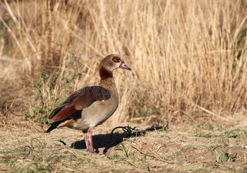 Egyptian Goose Alopochen aegyptiaca stock images