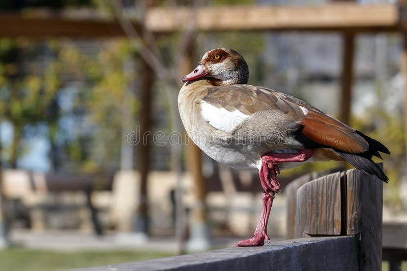Egyptian Goose duck standing on a one leg on wooden fence stock photos
