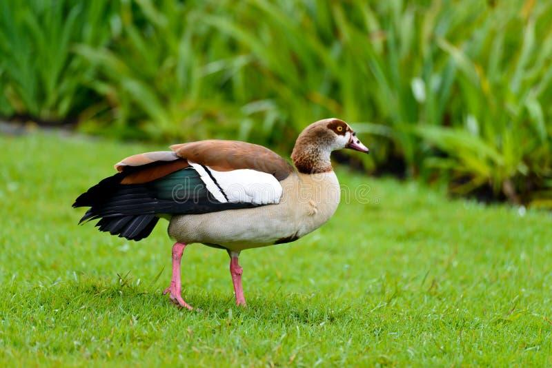 An Egyptian goose royalty free stock photo