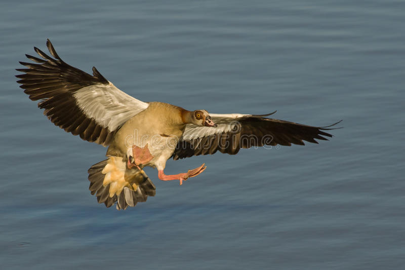 Download Egyptian goose in flight stock photo. Image of southern - 22225584