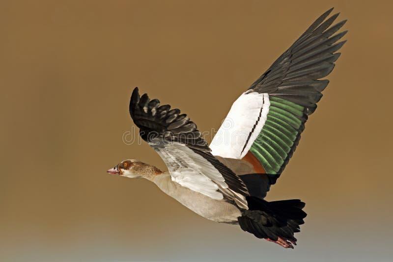 Egyptian Goose in flight stock photo