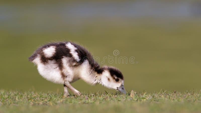 Egyptian Goose (gosling) stock photos