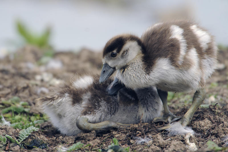 Download Egyptian goose goslings stock photo. Image of life, vulnerable - 15704180