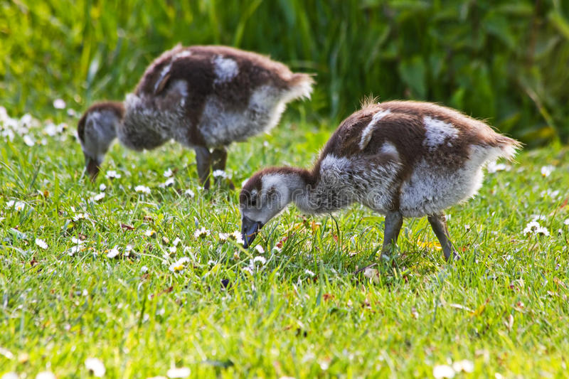Egyptian goose goslings in spring royalty free stock images