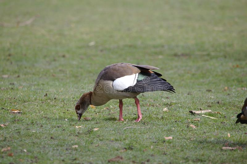 Egyptian goose grazing on grass stock photos