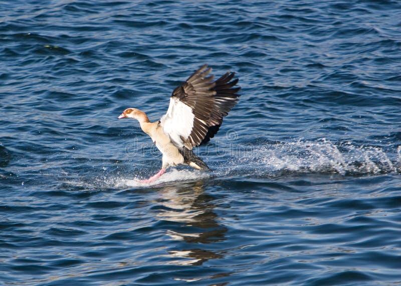 Download Egyptian Goose Landing stock photo. Image of water, wings - 3891272