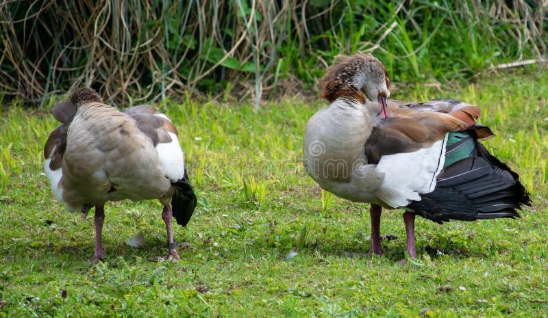Egyptian goose preening stock photos
